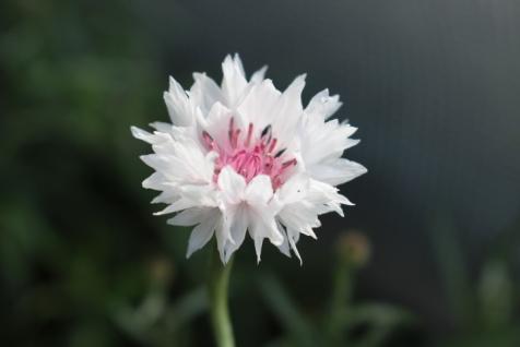Willow Green Nursery - Cornflower 'Classic Romantic'