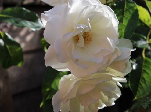 Willow Green Nursery - Rosa 'Iceberg'